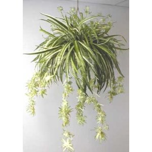 best office plants spider plant