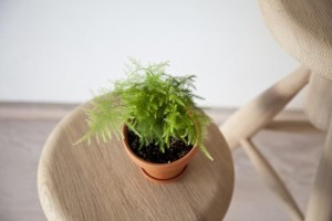 best office plants - asparagus fern