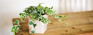 english ivy plant - best office plants