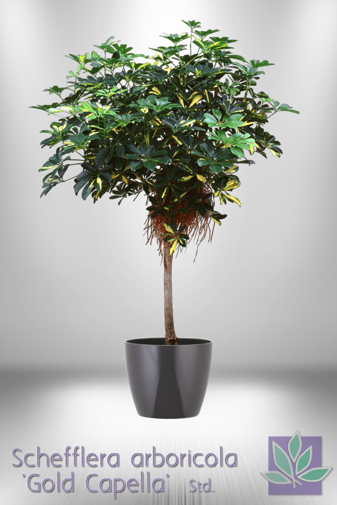schefflera 39 gold capella 39 natura enhancing the built environment indoor office plants. Black Bedroom Furniture Sets. Home Design Ideas