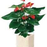 anthurium-plant_benefits