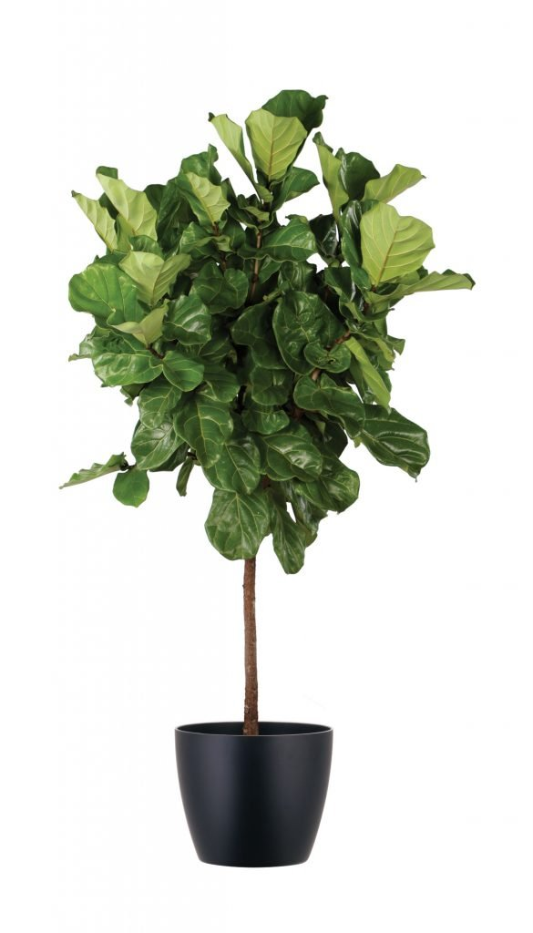 A15 Ficus Lyrata Standard Natura Enhancing The Built
